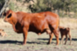 Factors sister and calf_edited.jpg