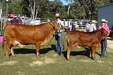 Golden girl and calf sml.jpg