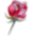 Rose%25201_edited_edited.png