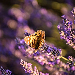 Provence Lavender Fields France Butterfly_Raffaele Cabras.jpeg.jpg