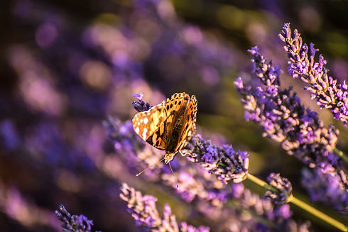 Provence Butterfly in a Lavender Field Photo