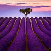 Provence Lavender - France