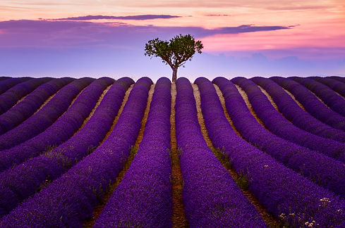Provence Lavender in Valensole Photo