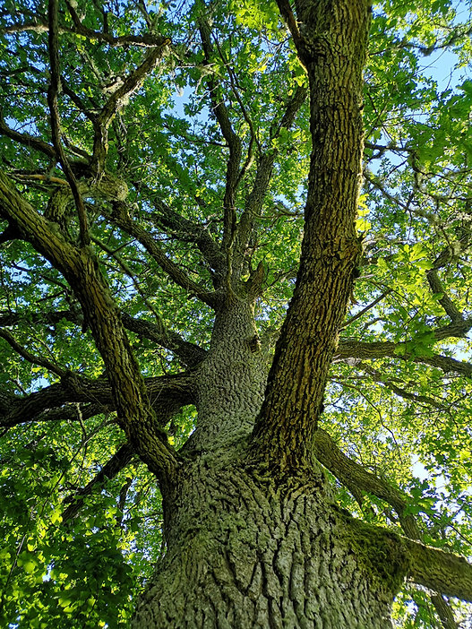 Oak-tree-nature-is-the-best-healer.jpg