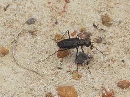 Cicindela punctulata (Punctured Tiger Beetle)