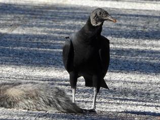 Coragyps atratus (Black Vulture)