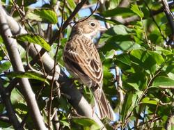 Vespar Sparrow