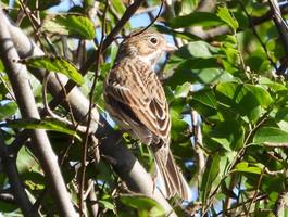 Pooecetes gramineus (Vesper Sparrow)