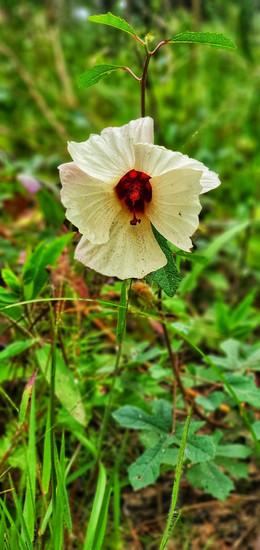 Hibiscus aculeatus (Comfort Root, Pineland Mallow)