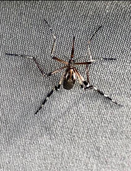 Psorophora ciliata (Gallinipper Mosquito)