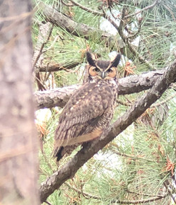 Bubo virginianus (Great Horned Owl)