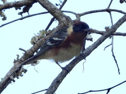 Setophaga castanea (Bay-breasted Warbler)