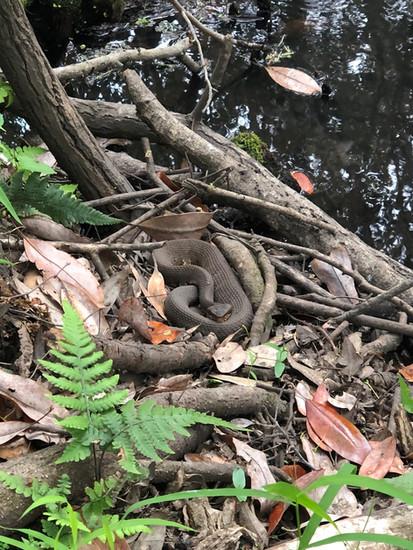 Agkistrodon piscivorus (Cottonmouth)