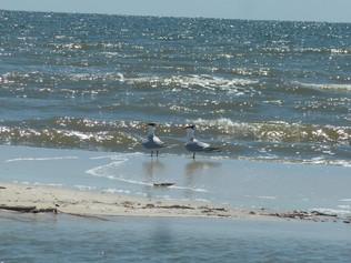 Hydroprogne caspia (Caspian Terns)