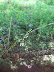 Opheodrys aestivus (Rough Green Snake)