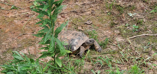 Gopherus polyphemus (Gopher Tortoise)
