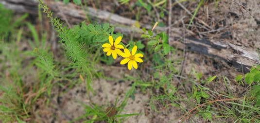 Coreopsis major (Greater Tickseed)