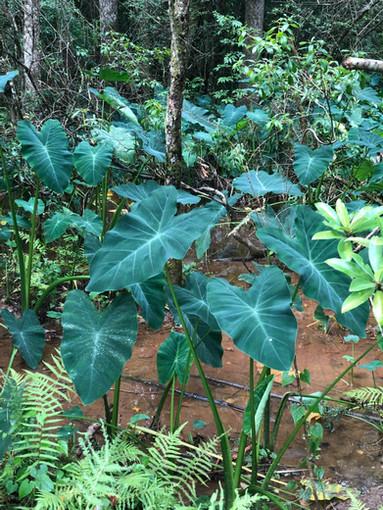 Colocasia esculenta (Wild Taro) NON-NATIVE