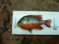 Lepomis megalotis (Longear Sunfish)