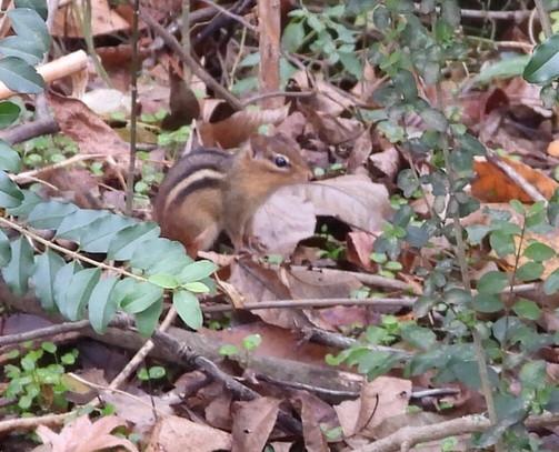 Tamias striatus (Eastern Chipmunk)