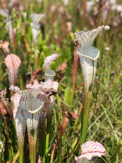 Sarracenia leucophylla (Whitetop Pitcher Plant)