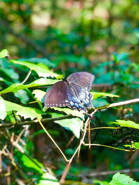 Papilio polyxenes (Black Swallowtail)