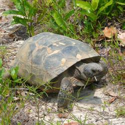Goperus polyphemus (Gopher Tortoise)