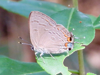 Satyrium kingi (King's Hairstreak)