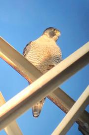 Falco peregrinus (Peregrine Falcon)