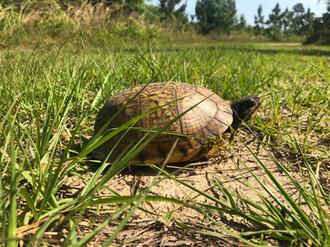 Terrapene carolina carolina (Eastern Box Turtle)