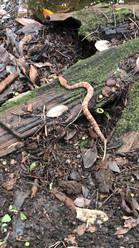 Agkistrodon piscivorus (Cottonmouth/Water Moccasin)