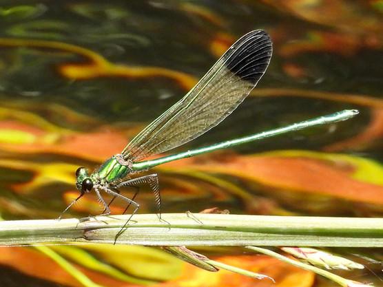 Calopteryx dimidiata (Sparkling Jewelwing)