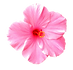 kisspng-pink-flowers-nelumbo-nucifera-cl