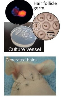 Mass-produced hair follicle germs cause hair growth in mice