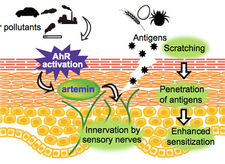 Air pollution may contribute to atopic dermatitis through activation of AhR transcription factor