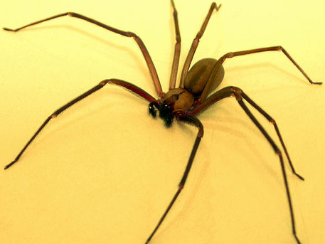 NOT RECLUSE—New mnemonic to prevent misdiagnosis of skin conditions as spider bites
