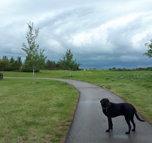 Sarah walking black lab, Hunter