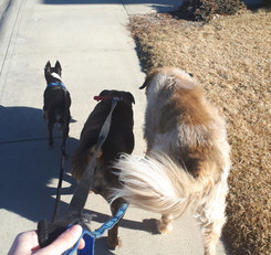 Sarah walking a trio of dogs