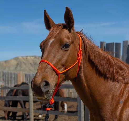 Chestnut mare wearing handmade hand tied nylon rope halter, Canadian made in orange