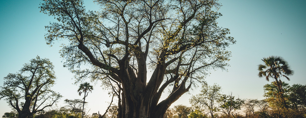 The oldest Baobab tree