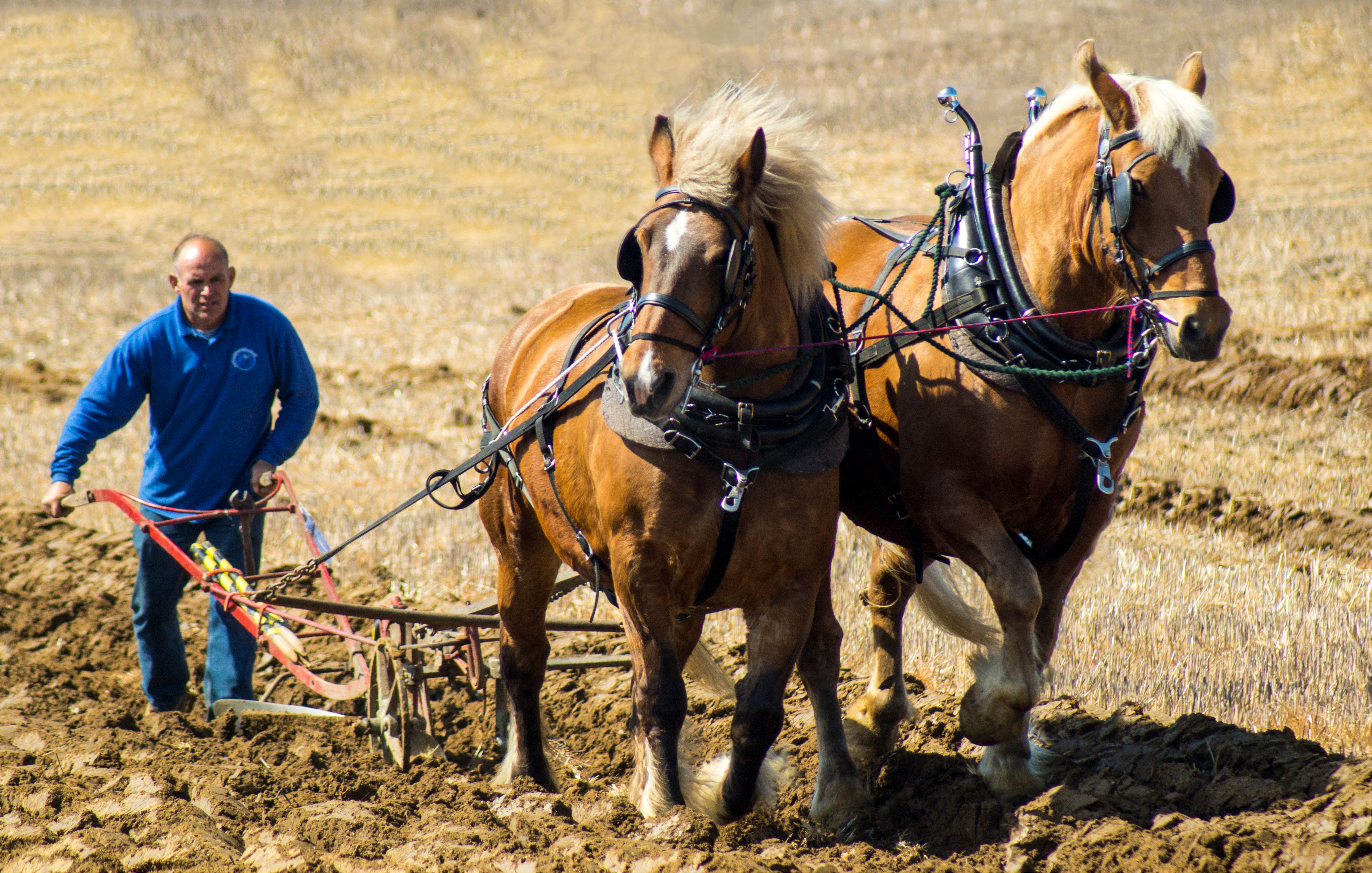 ploughing horses copy