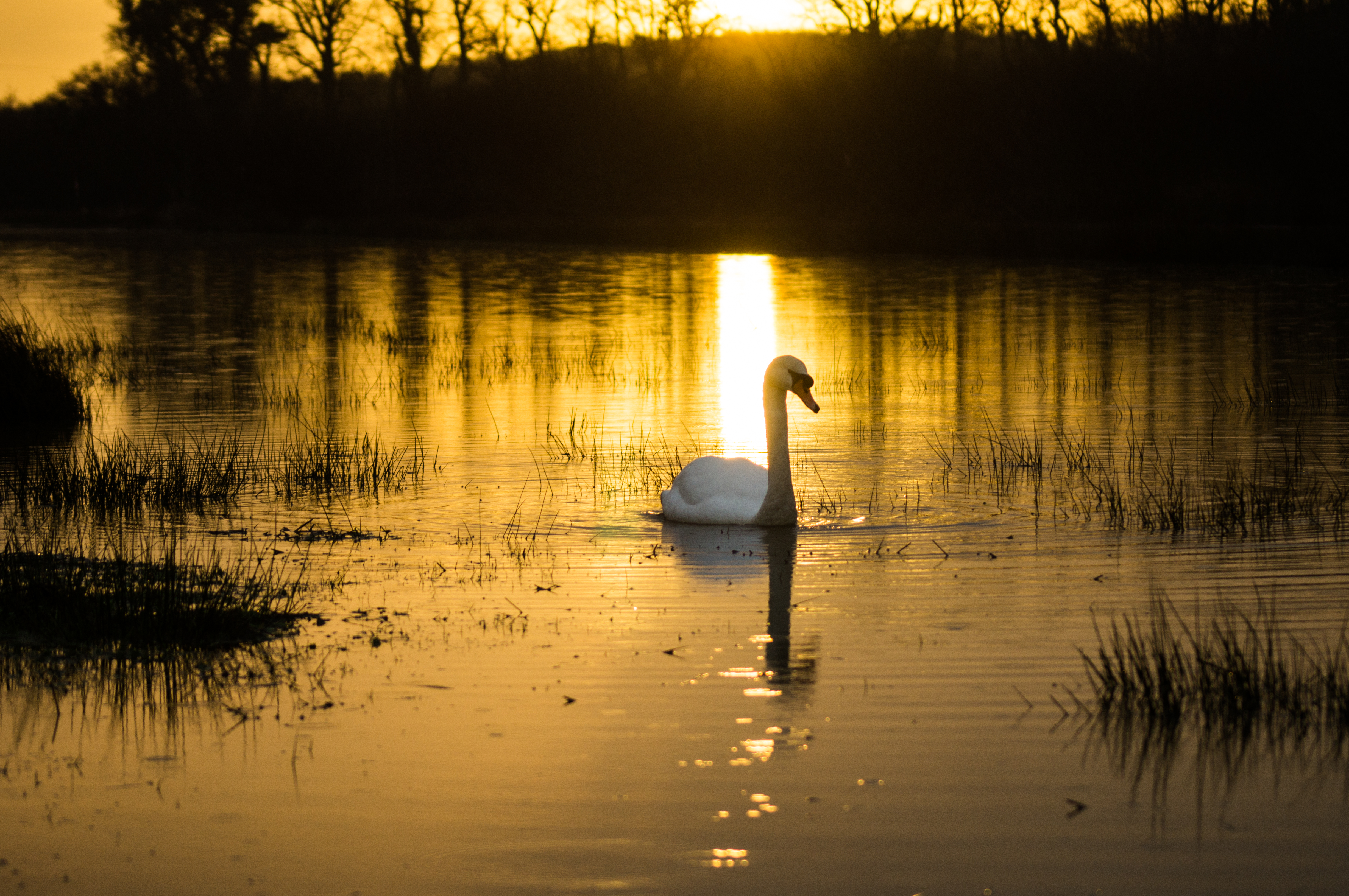 swan on mead