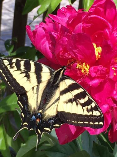 Peonies and butterflies in the garden.