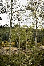 aspens by carmel.jpg