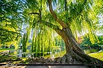 willow.jpeg
