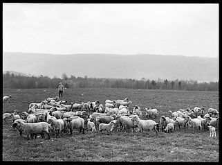 1913 Bristol Sheep Farm.jpg