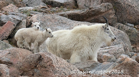 A_wix_Mountain Goat with Kids 2.jpg