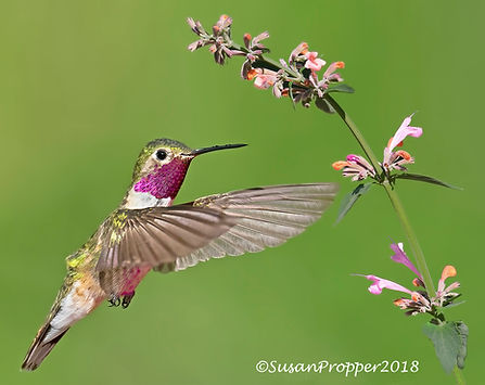 wix_Male Broad-tailed Hummingbird with H