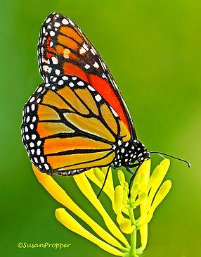 A_wix_Monarch.jpg