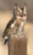 A_Owl_8568.jpg